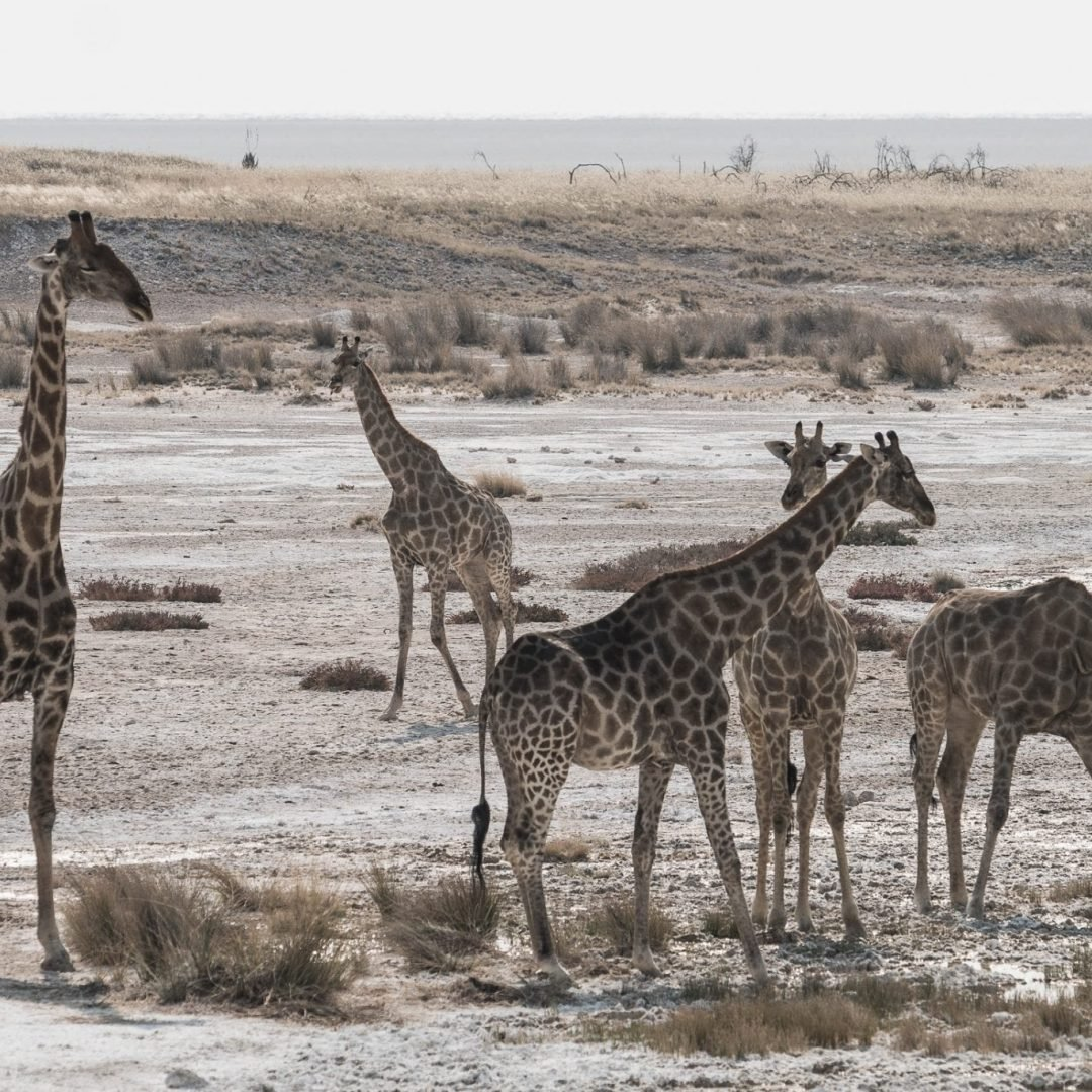 Giraffes at Kruger National Park