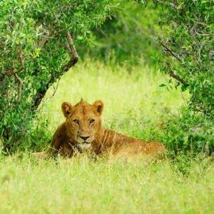 Lion under tree at Kruger Park