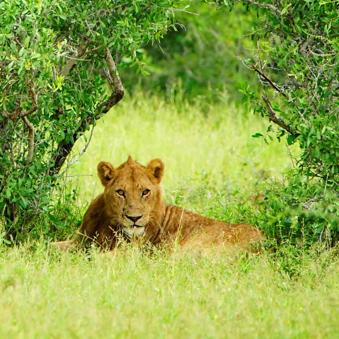 Lion under tree at Kruger Park
