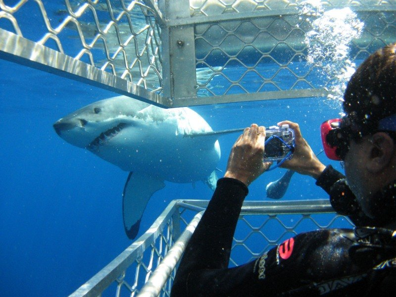 majestic great white shark photo from cage