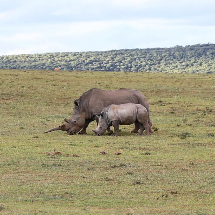 Rhino and rhino calf