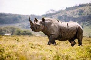 Rhino Kruger Park safari