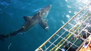 shark cage diving gansbaai