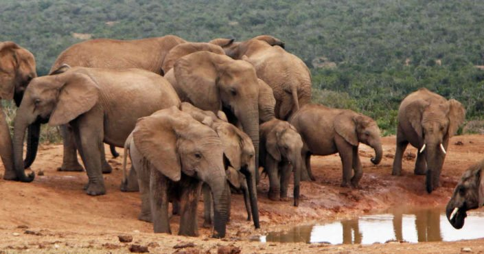 Gorgeous elephants at watering hole