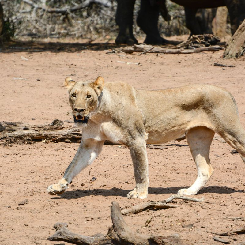lion at addo park south africa